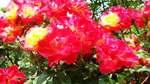 Rose080606