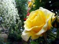 Rose090531