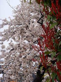 Sakura100417