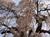 Sakura110504