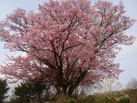 Sakura110504b