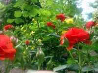 Rose110614_4