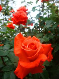 Rose120609