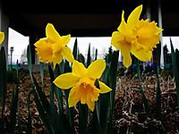 Tulip130330