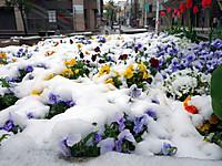 Tulip130421