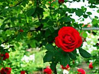 Rose130601