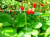 Strawberry130623