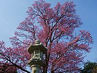 Sakura140427b