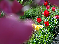 Tulip160424