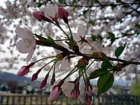 Sakura170417