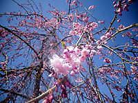 Sakura180405
