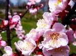 Apricot060418b