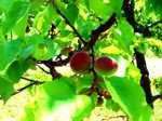 Apricot060523