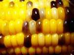 Corn060903