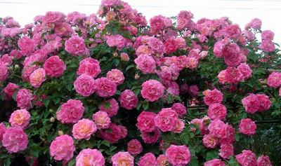 rose050611