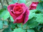 rose050611a