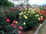rose050611b