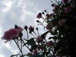 rose050611d
