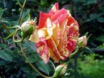 rose050611e