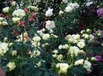 rose050611f