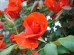 Roses070611
