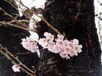 Sakura070415