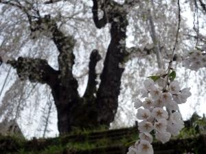 Sakura190428