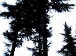 tree060105