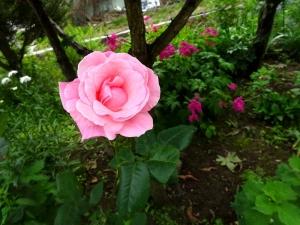 Rose200628