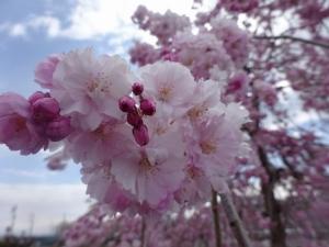 Sakura200414