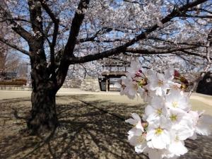 Sakura210331